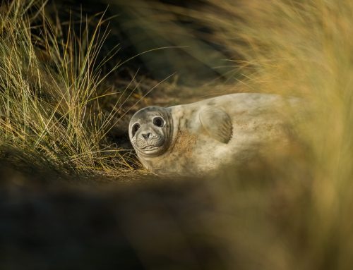 Norfolk grey seals 2017