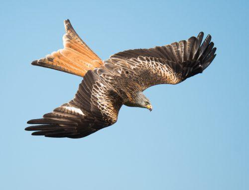 Gigrin Farm – red kite feeding station video, Wales