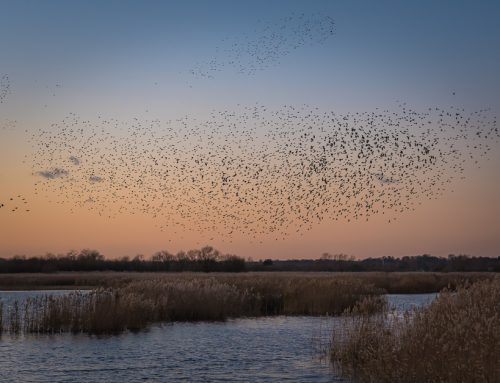 RSPB Strumpshaw Fen murmuration – December 2017