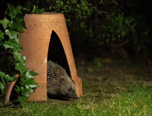 Photographing hedgehogs